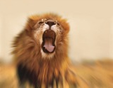 Fierce lion roaring